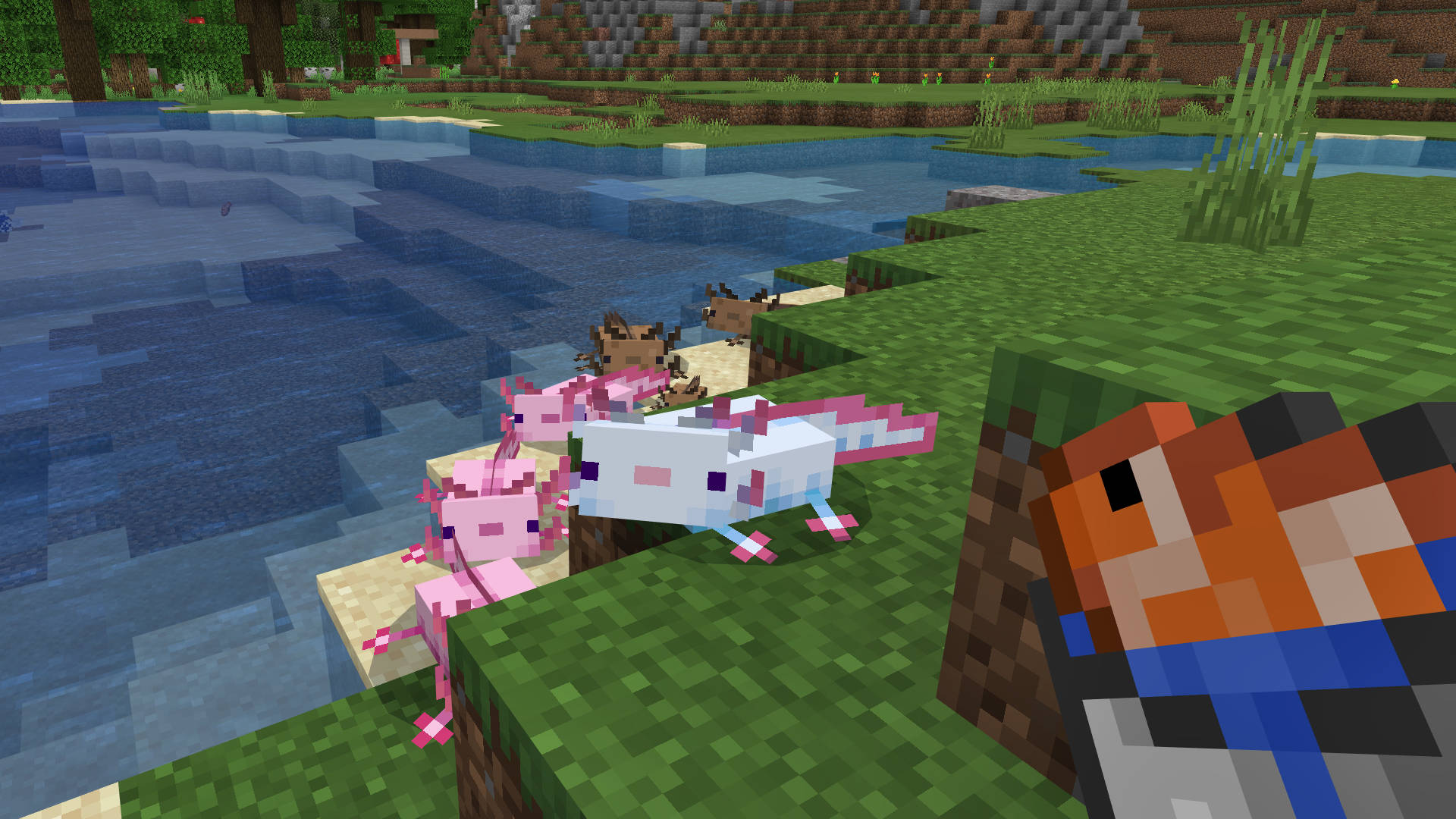 A group of Minecraft Axolotls lured in by the promise of a tropical fish meal.