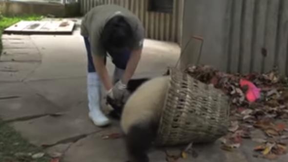 untitled goose game panda video